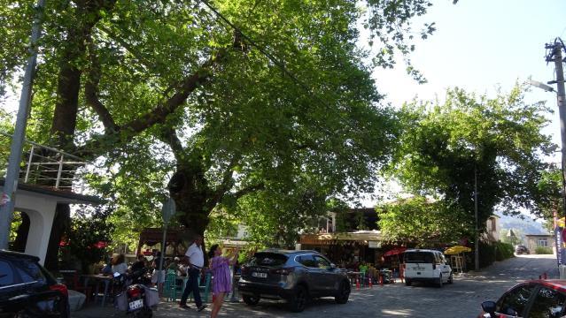 Bayır Mahallesi'nin simgesi çınar ağacı asırlara meydan okuyor